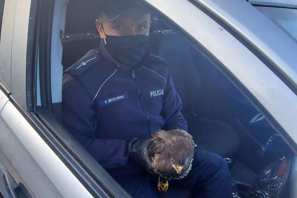 Policjanci uratowali rannego myszołowa (ZDJĘCIA)