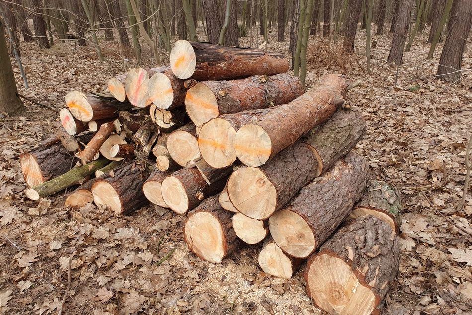 Niekonsekwencja radnego Michała Brauna w sprawie wycinki drzew