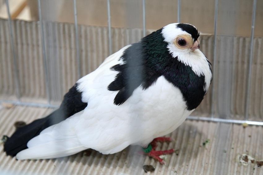 Najpiękniejsze gołębie w Targach Kielce