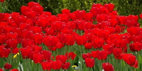 kielce wiadomości Za kradzione tulipany grozi im 5 lat