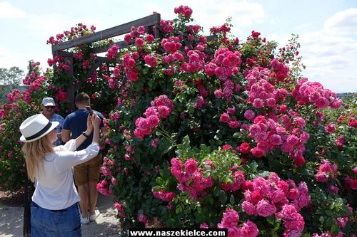 kielce wiadomości Pierwsze Święto Róż w Ogrodzie Botanicznym (ZDJĘCIA,WIDEO)
