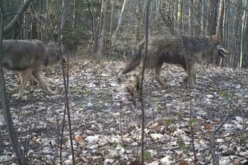 kielce wiadomości Wilki wróciły w Góry Świętokrzyskie (WIDEO)